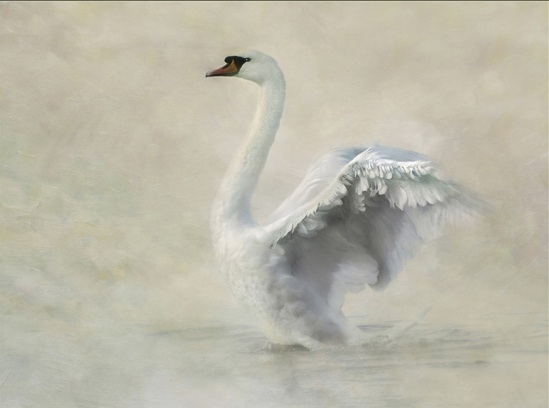 Swan Impression